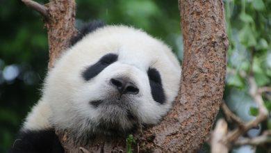 Photo of Egyszerű jelen idő gyakorlása a pandákkal