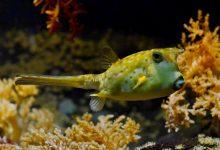 puffer fish furcsa ételek angol