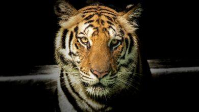 Photo of The Lady and the Tiger – Névelők gyakorlás