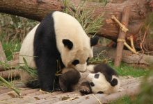 Photo of Read about the pandas